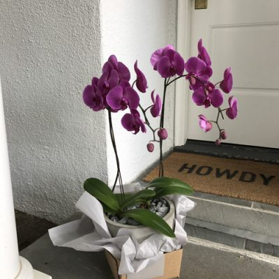 july-floral-double-color-phalaenopsis-planter