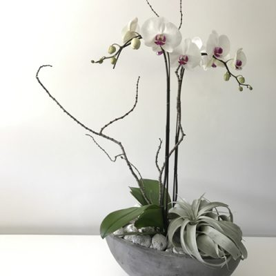 july-floral-double-white-phalaenopsis-zerographica-airplant